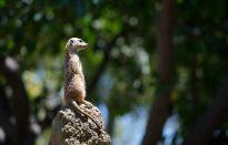 Meerkats, Your Brain & Health